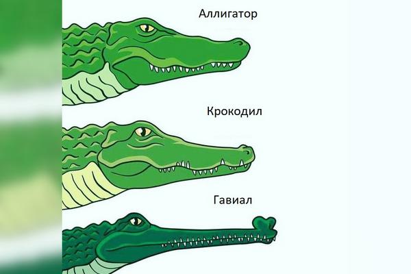Фото отличия крокодила от аллигатора и гавиала