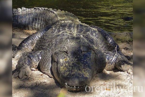 Фото Нильского крокодила