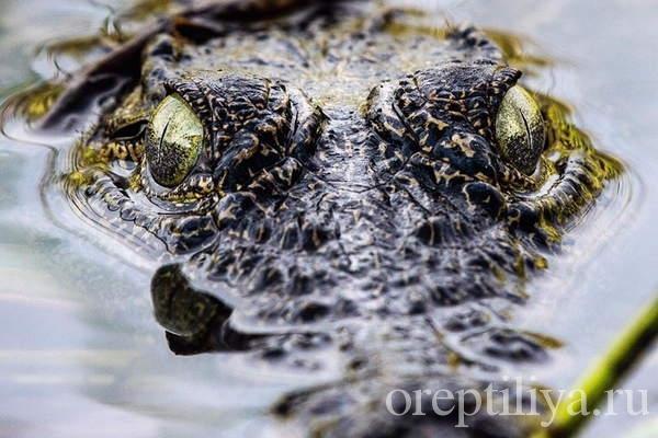 Крокодил прячется в воде