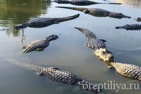 Много крокодилов в воде
